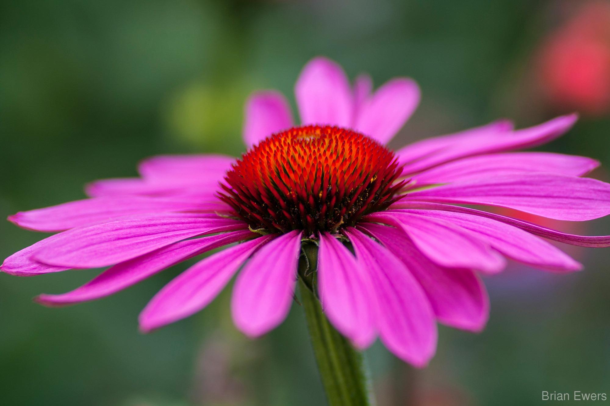 echinacea-purpurea-extract-60 capsule