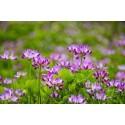 Astragalus radacina lichid picaturi (1oz) 30ml