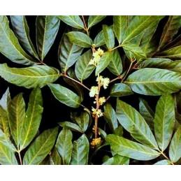 Swanson Full-Spectrum Muira Puama Radacina 400 mg 90 Capsule