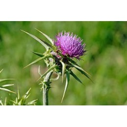 SilyPhyt (Armurariu, Silybum marianum) 60 Capsule