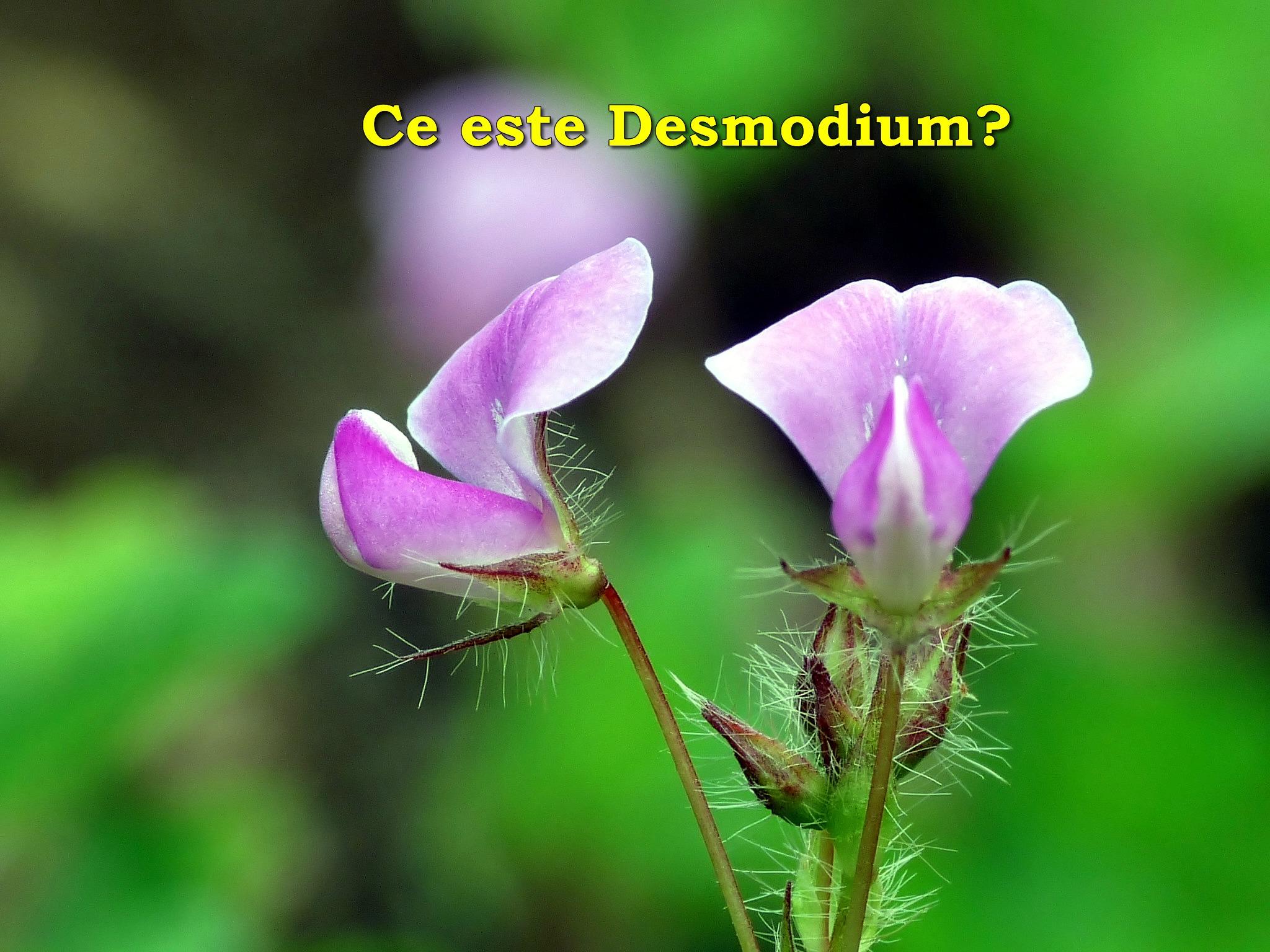Ce este Desmodium Adcendens