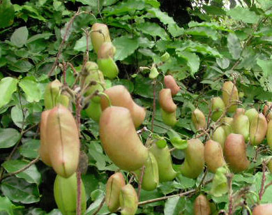 Griffonia Simplicifolia, 5-HTP 60 - 200 capsule